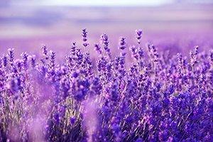 Lavendel - Natuurlijk vlooien bestrijden